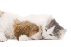 LA-8202 Dog - Cavalier King Charles Spaniel puppy sleeping in studio with kitten