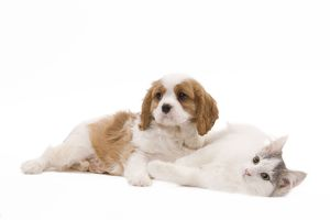 LA-8203 Dog - Cavalier King Charles Spaniel puppy in studio with kitten