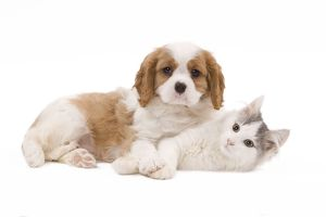 LA-8204 Dog - Cavalier King Charles Spaniel puppy in studio with kitten