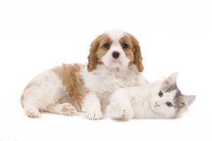 LA-8205 Dog - Cavalier King Charles Spaniel puppy in studio with kitten