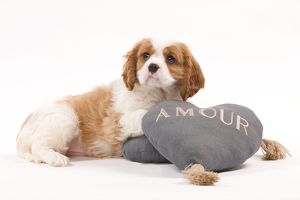 LA-8206 Dog - Cavalier King Charles Spaniel puppy in studio