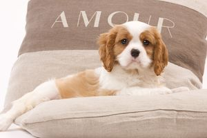 LA-8207 Dog - Cavalier King Charles Spaniel puppy lying on cushions
