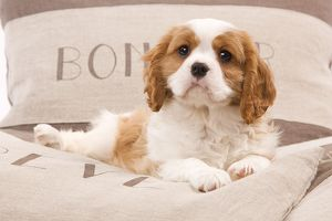 LA-8208 Dog - Cavalier King Charles Spaniel puppy lying on cushions