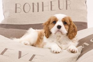 LA-8209 Dog - Cavalier King Charles Spaniel puppy lying on cushions