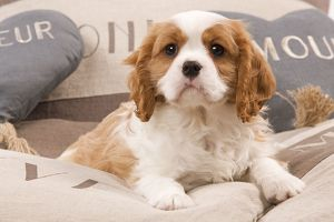 LA-8210 Dog - Cavalier King Charles Spaniel puppy lying on cushions