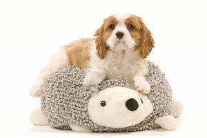 LA-8211 Dog - Cavalier King Charles Spaniel puppy lying ontop of animal shaped dog cushion