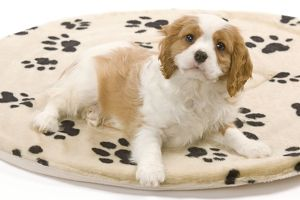 LA-8212 Dog - Cavalier King Charles Spaniel puppy lying on dog bed