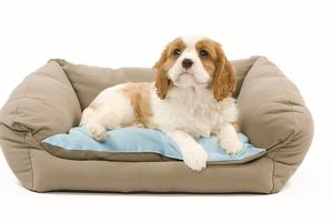 LA-8213 Dog - Cavalier King Charles Spaniel puppy lying on dog bed