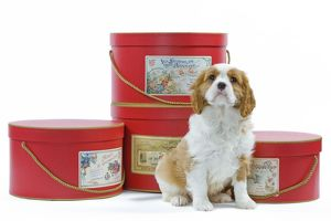 LA-8222 Dog - Cavalier King Charles Spaniel puppy sitting by hat boxes in studio