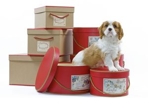 LA-8223 Dog - Cavalier King Charles Spaniel puppy sitting by hat boxes & boxes in studio