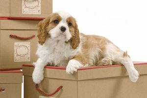 LA-8224 Dog - Cavalier King Charles Spaniel puppy lying on boxes in studio