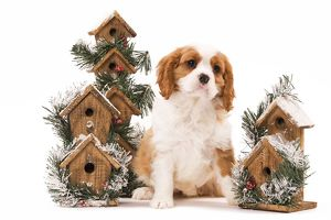 LA-8227 Dog - Cavalier King Charles Spaniel puppy sitting by festive bird boxes