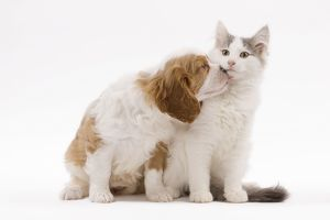 LA-8315 Dog - Cavalier King Charles Spaniel puppy in studio with kitten