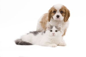 LA-8316 Dog - Cavalier King Charles Spaniel puppy in studio with kitten