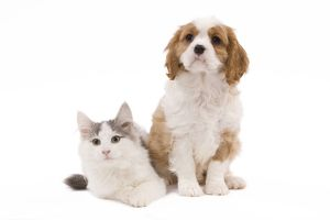 LA-8317 Dog - Cavalier King Charles Spaniel puppy in studio with kitten