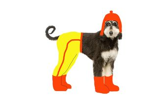 LA-8342 Dog - Afghan Hound puppy in studio 'wearing' trousers, boots & hat.