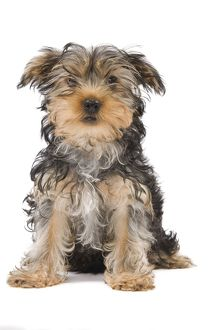 LA-8409 Dog - Yorkshire Terrier puppy sitting in studio