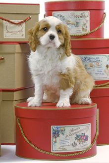 LA-8413 Dog - Cavalier King Charles Spaniel - sitting on hat boxes in studio