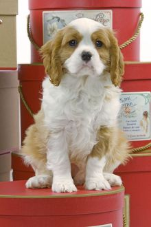 LA-8414 Dog - Cavalier King Charles Spaniel - sitting on hat boxes in studio