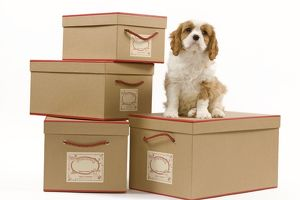 LA-8415 Dog - Cavalier King Charles Spaniel - sitting on boxes in studio