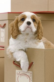 LA-8417 Dog - Cavalier King Charles Spaniel - in a box in studio