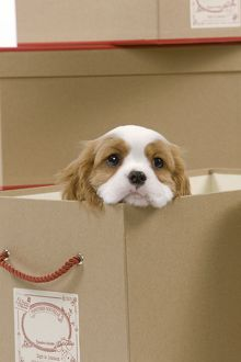 LA-8418 Dog - Cavalier King Charles Spaniel - in a box in studio