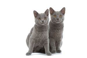 LA-8443 Cat - Chartreux kittens in studio