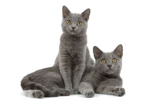 LA-8444 Cat - Chartreux kittens in studio