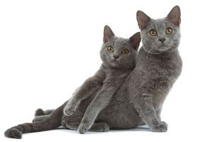 LA-8445 Cat - Chartreux kittens in studio
