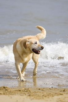 Labrador Dog - Playing on beach