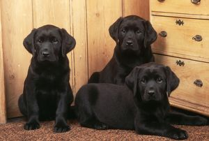 LABRADOR RETRIEVER DOG - three black puppies