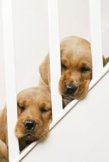 LABRADOR RETRIEVER - two puppies with heads stuck through stair banisters