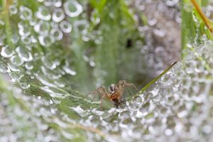 Labyrinth Spider on Web with water droplets in