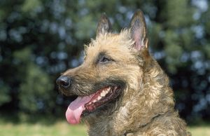 Laekenois / Belgian Shepherd Dog - close-up of head with tongue out
