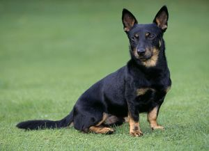 Lancashire Heeler Dog - Sitting on grass