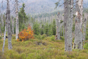 A large scale bark beetle infestation caused a lot