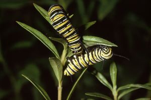LB-3393 Wanderer / Monarch / Milkweed Butterfly - caterpillar