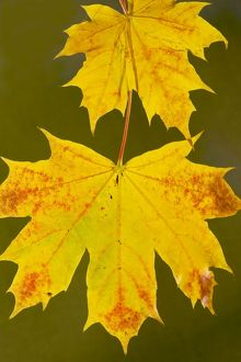 Leaves of Norway Maple - in autumn, strongly-coloured.