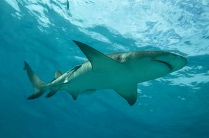 Lemon Shark - male swimming just under the surface