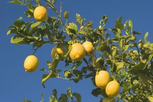 Lemon Tree - with ripe lemon fruits hanging from branch
