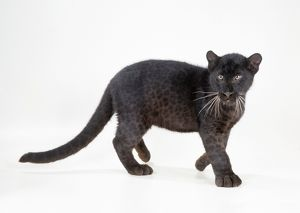 LEOPARD - Black Panther - cub, 16 weeks old, standing