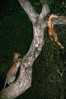 Leopard - climbing up to kill in tree