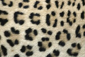 Leopard - close-up of coat