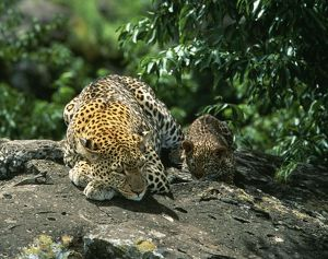 Leopard - Female & 2 month old cub
