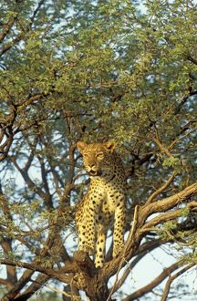 Leopard - female on a camelthorn tree (Acacia erioloba)