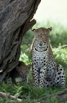Leopard - female with cub