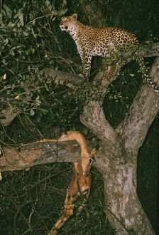 Leopard - with kill in tree, at night.