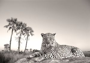 Leopard - male rests on termite mound