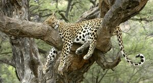 Leopard - resting in tree