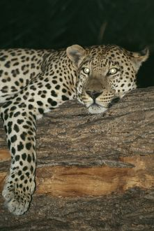 LEOPARD - resting in tree at night